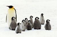 コウテイペンギン成人とヒナ