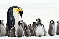 子育て場所探すコウテイペンギンの親