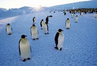 コウテイペンギンの群れ