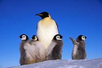 コウテイベンギンの成鳥とヒナ