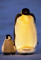 コウテイベンギンとヒナ