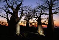 日没のバオバブ