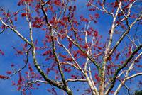 花の咲くデイゴの木