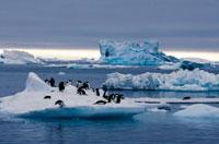 氷の上のアデリーペンギン