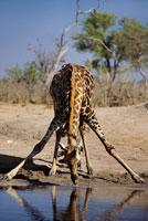 水を飲むキリン オカバンゴ・デルタ