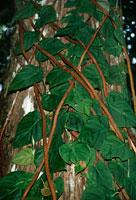 熱帯雨林の木を登るフィロデントロン