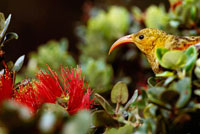 花を食べるベニハワイミツスイ