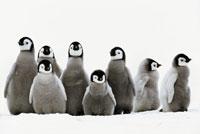 コウテイペンギンのヒナの集団