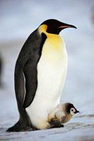 ヒナをあたためるコウテイペンギン