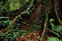 低地雨林で地表に露出する根