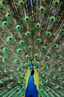 羽を広げるインドクジャクのオス