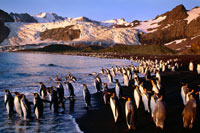 岸辺のオウサマペンギンの群れ