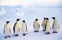線上に立つコウテイペンギン