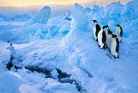Emperor penguins at crack in sea ice
