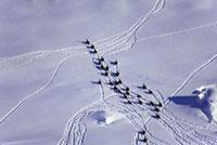 Emperor penguins tobogganing (aerial)