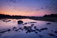 Hippos at dawn, Hippopotamus amphibius, Luangwa River, Zambi