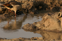 Egyptian goose, Alopochen aegyptiaca, and mud caked hippo, H