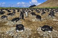 Gentoo penguin colony, Pygoscelis papua, Steeple Jason, Falk