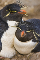 Rockhopper penguin couple, Eudyptes chrysocome, Saunders Isl