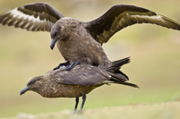 Brown skuas mating, Catharacta antarctica, Saunders Island,