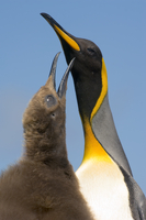 King penguin chick begging for food from parent, Aptenodytes