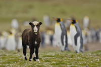 Sheep, Ovis aries, in king penguin colony, Aptenodytes patag