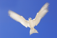 Fairy tern in flight, Gygis alba, Tern Island, Hawaiian Leew