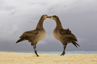 Black-footed albatrosses courting, Phoebastria nigripes, Ter