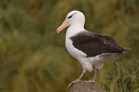 Black-browed albatross, Thalassarche melanophrys, Falkland I