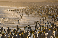 King penguins at tideline, Aptenodytes patagonicus, South Ge