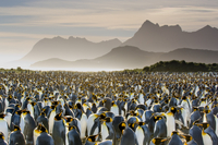 King penguin colony, Aptenodytes patagonicus, South Georgia
