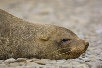 Antarctic fur seal male, Arctocephalus gazella, Orkney Islan