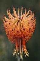 Pincushion flower, Leucospermum sp., UCSC Arboretum, Montere