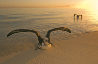 Waterlogged laysan albatross, Phoebastria immutabilis, Midwa