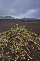 Pioneering grasses in volcanic ash, Iceland