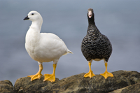 Kelp geese (male at left and female at right), Chloephaga hy