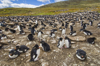 Rockhopper penguin colony, Eudyptes chrysocome, Saunders Isl