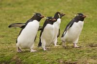 Rockhopper penguins, Eudyptes chrysocome, Saunders Island, F