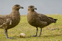 Brown skuas, Catharacta antarctica, with stolen penguin egg,