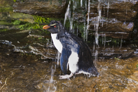 Rockhopper penguin bathing under waterfall, Eudyptes chrysoc