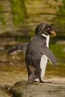 Rockhopper penguin, Eudyptes chrysocome, Saunders Island, Fa