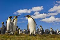 King penguin colony, Aptenodytes patagonicus, Falkland Islan
