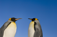 King penguins, Aptenodytes patagonicus, Falkland Islands
