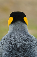 King penguin rear view, Aptenodytes patagonicus, Falkland Is