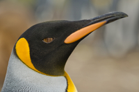 King penguin face, Aptenodytes patagonicus, Falkland Islands