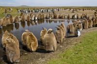 King penguin chicks, Aptenodytes patagonicus, Falkland Islan