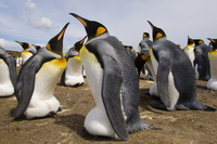 King penguins incubating eggs, Aptenodytes patagonicus, Falk