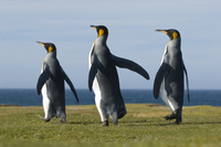 King penguins courting, Aptenodytes patagonicus, Falkland Is