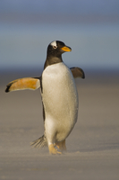 Gentoo penguin running on beach, Pygoscelis papua, Falkland