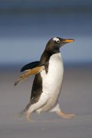 Gentoo penguin running, Pygoscelis papua, Falkland Islands